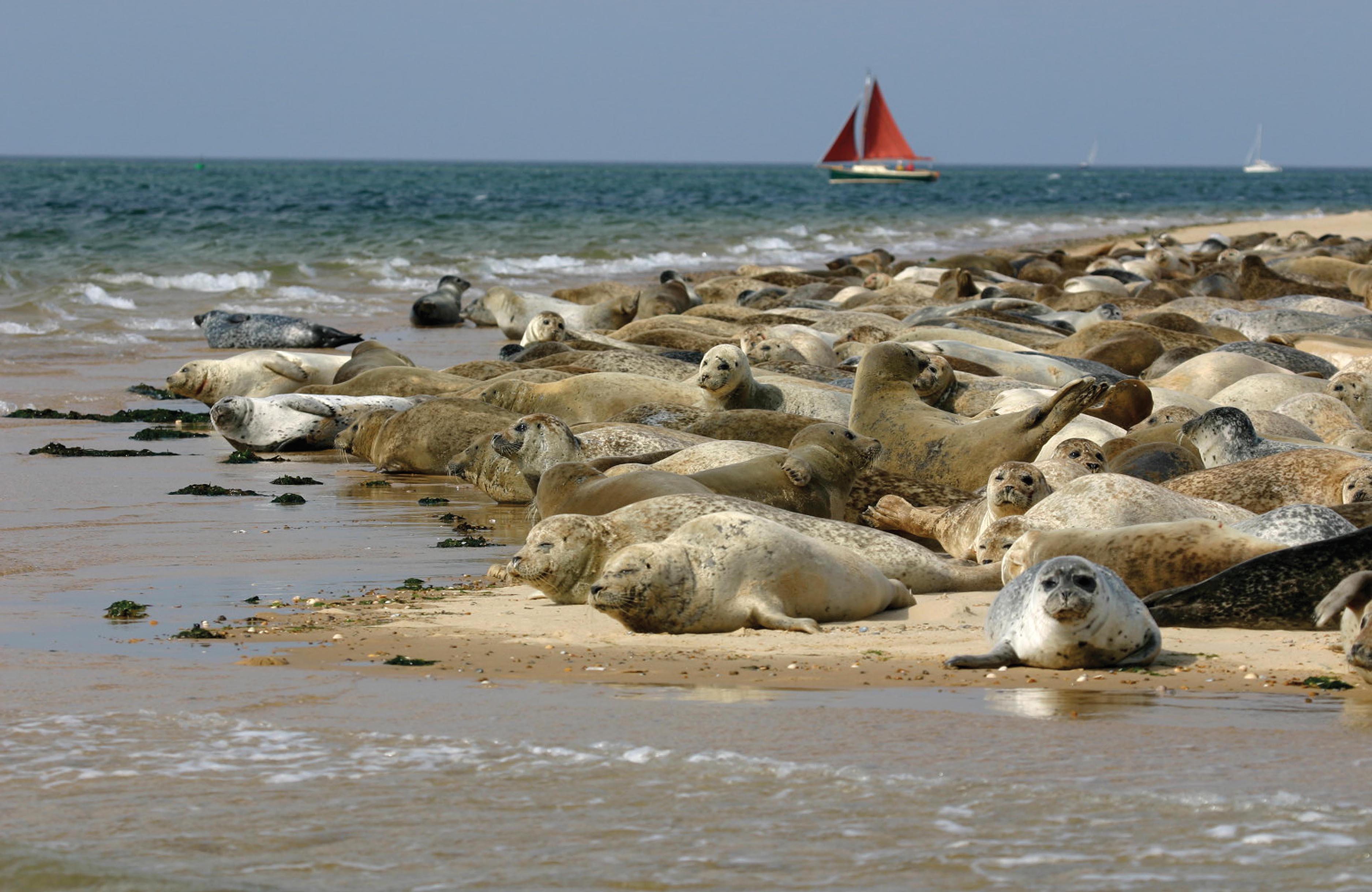 Seals of Blakeney Point